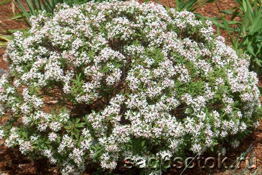 Волчеягодник алтайский (D. altaica)