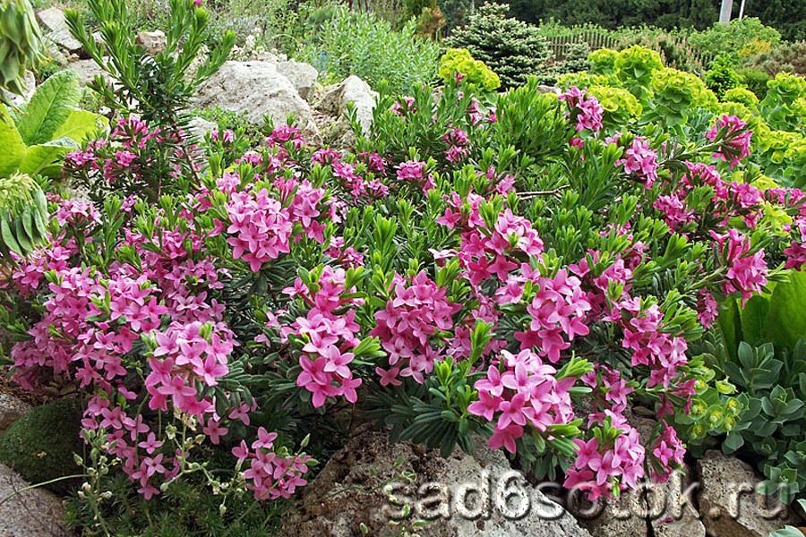 Крупноцветковая форма волчьего лыка (f. Grandiflora)