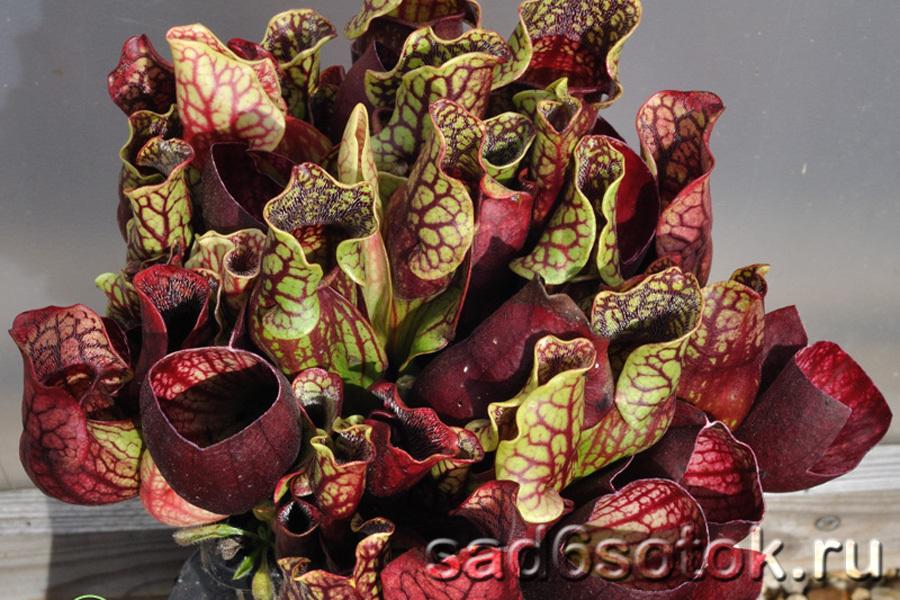 Саррацения пурпурная (Sarracenia purpurea)