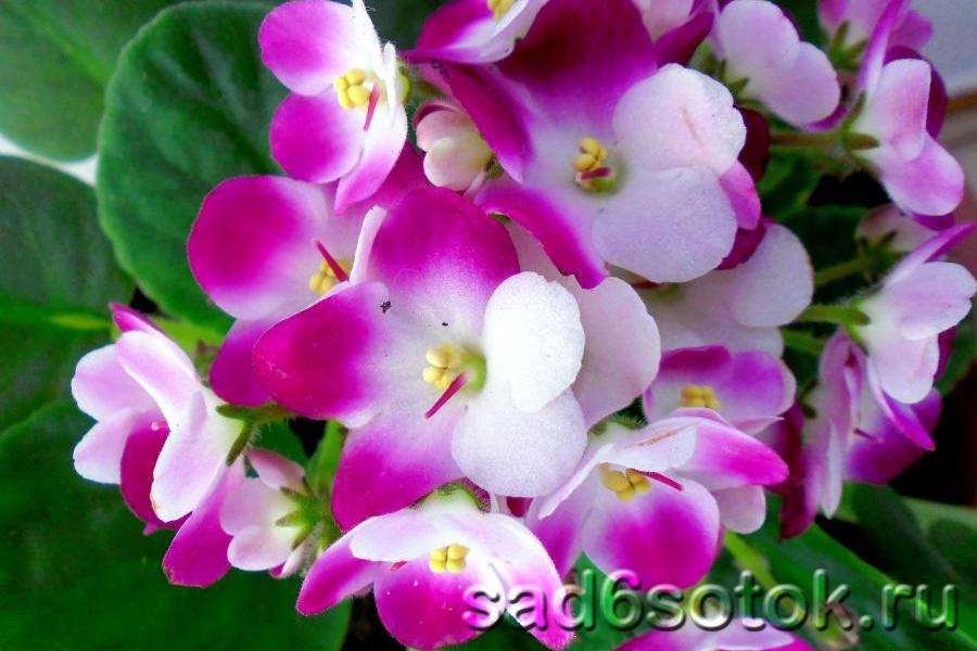 Сенполия – советы по выращиванию