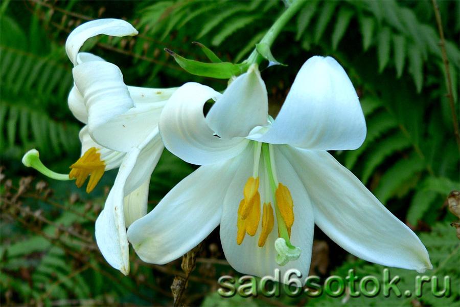 Лилия белоснежная