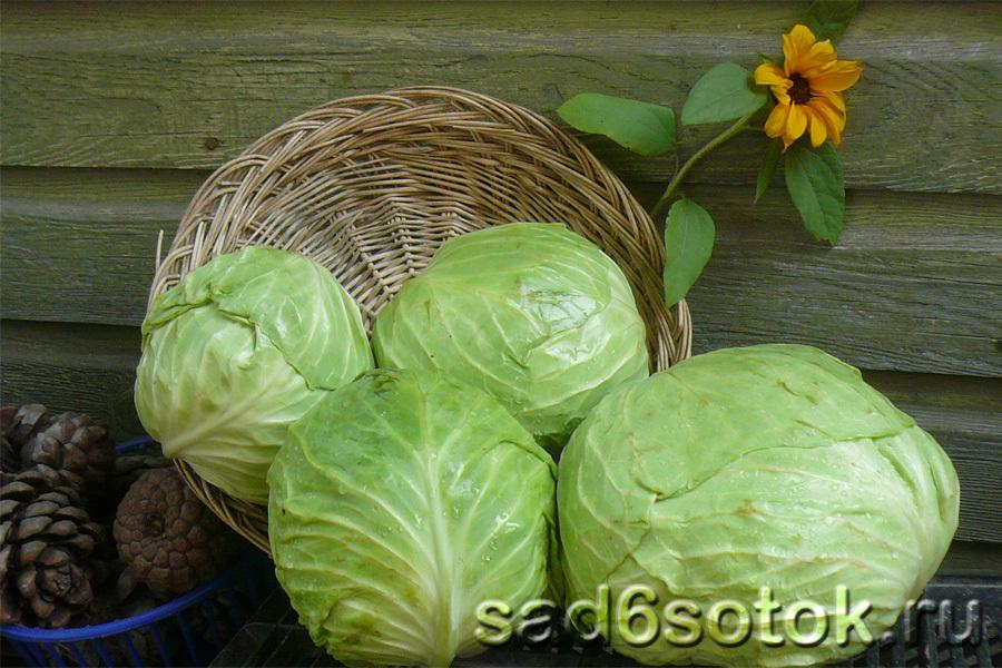 Хранение капусты, картофеля, салата