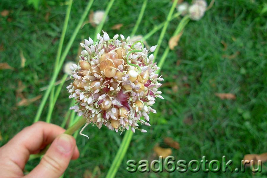 Цветы чеснока