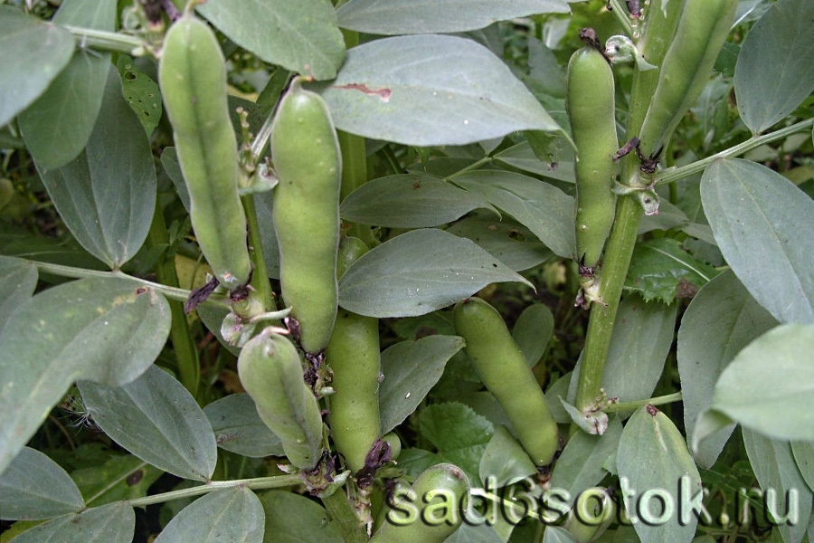 выращивание белого толстолобика