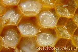 Личинки пчел в маточном молочке