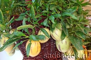 Выращивание пепино в домашних условиях