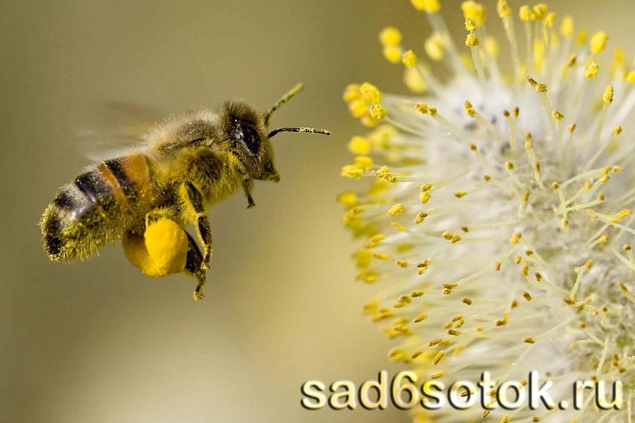 Рабочая пчела собирает пыльцу