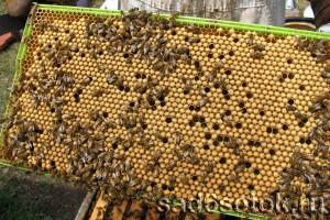 Рамка с пчелиным расплодом