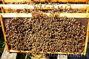 Рамки с пчелами