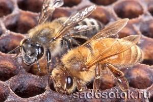 Пчела серая горная кавказская и пчела итальянская