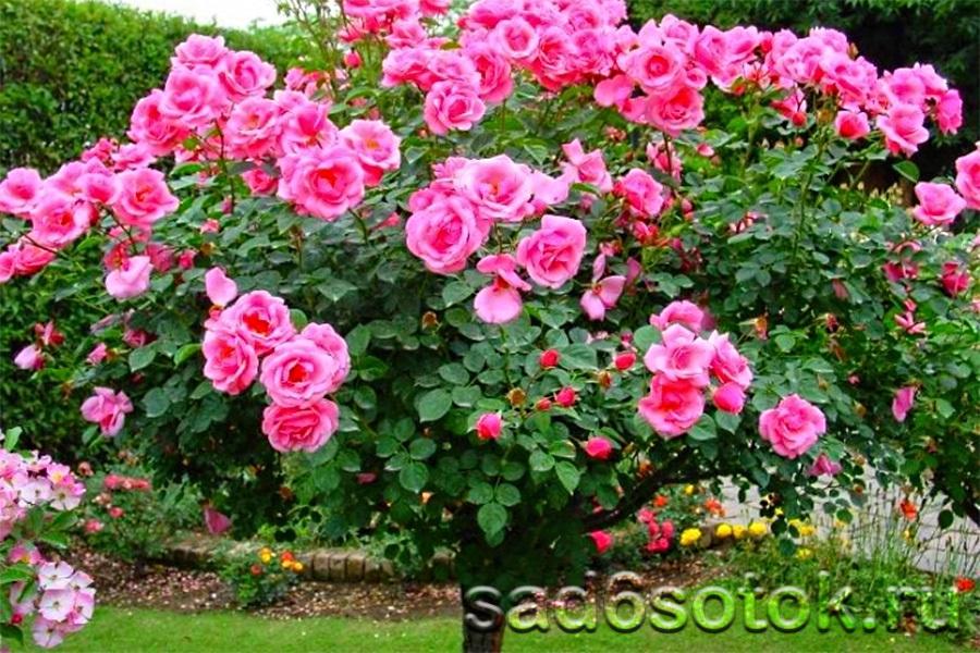 Штамбовая роза