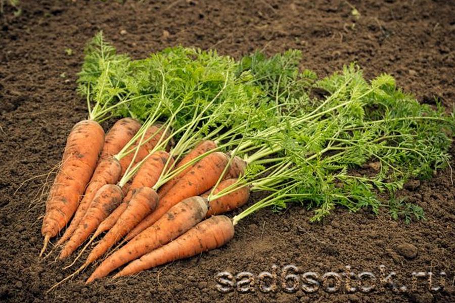 Почему морковь трескается