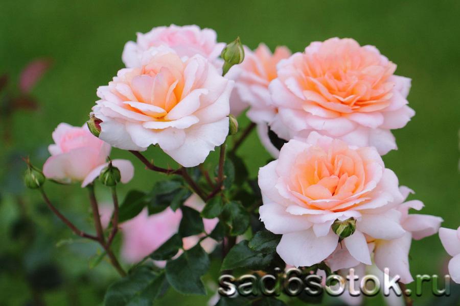 Посадка роз. Парковая роза сорт Schloss Eutin (Шлосс Ойтин).