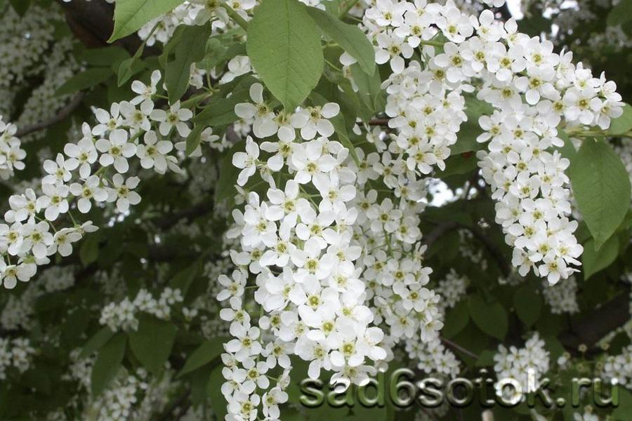 Цветение черемухи обыкновенной