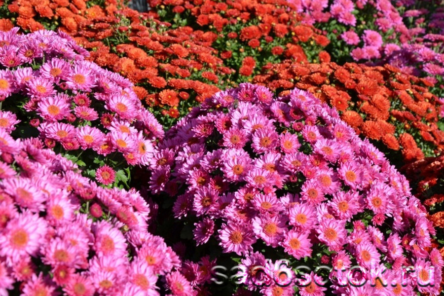 Мультифлора (Chrysanthemum multiflora)