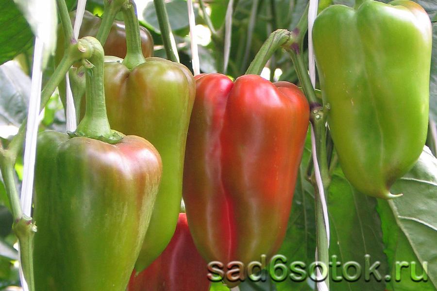 Сладкий перец сорт Буратино