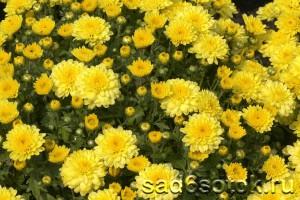 Хризантема Тафета Желтая