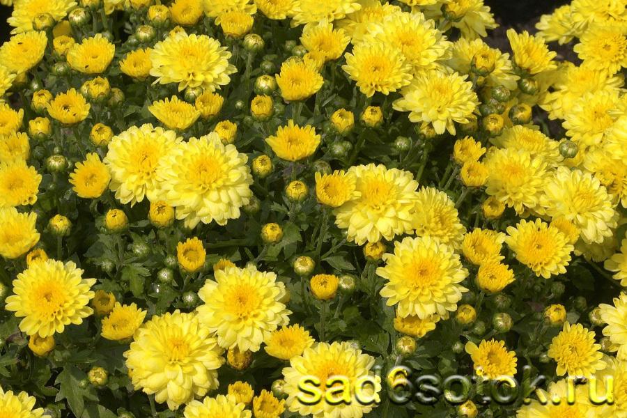 Тафета Желтая (Tafetta Yellow)