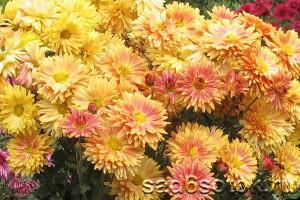 Хризантема Виват ботанику