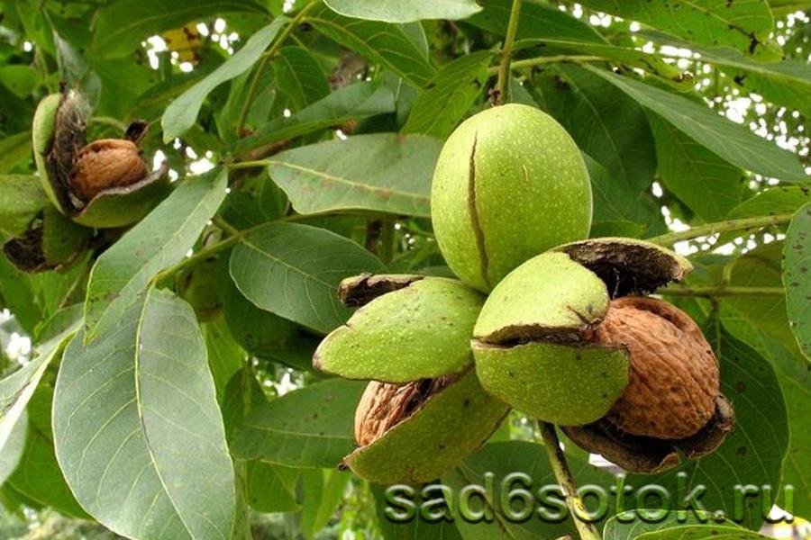 Созревание плодов грецкого ореха