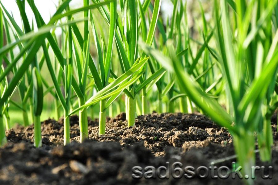 Особенности посадки чеснока