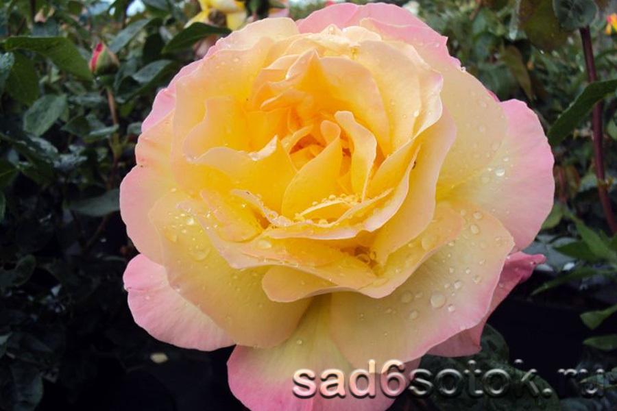 Чайно-гибридная роза сорт Глория Дей (Gloria Dei)