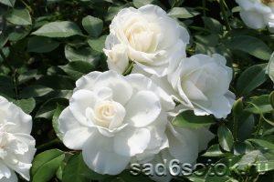Роза группы Флорибунда сорт Айсберг (Iceberg)