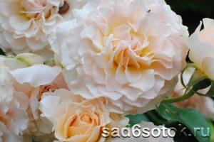 Английские розы сорт Экскалибур (Excalibur)