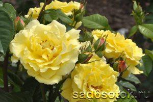 Парковая роза сорт Консуэлла (Konsuella)