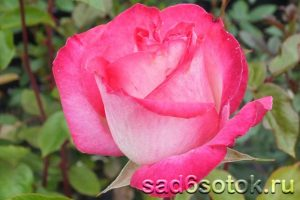 Чайно-гибридная роза сорт Роз Гожар (Rose Gaujard)
