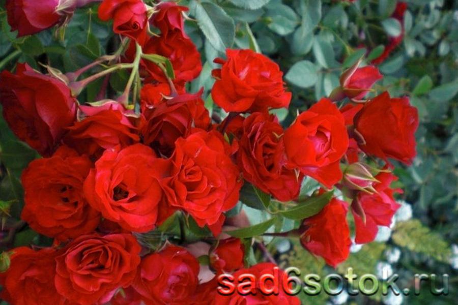 Почвопокровная роза сорт Скарлет Мейяндекор (Scarlet Meillandecor)