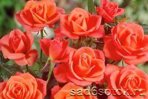 Чайно-гибридная роза сорт Супер Стар (Super Star)