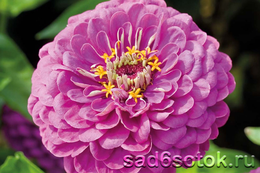 Цинния Пурпурный Принц (Purple Prinse)