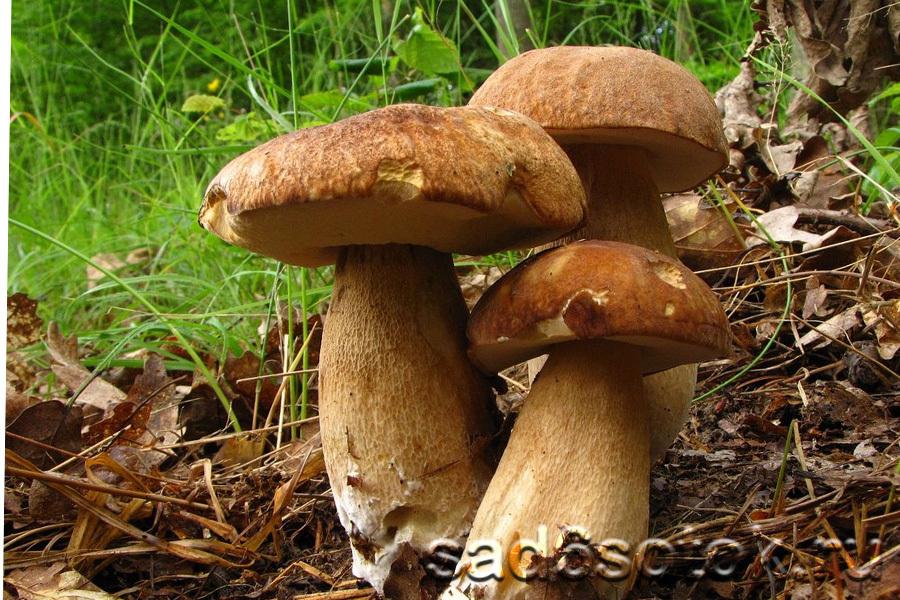 Белый гриб сетчатый (Boletus reticulatus)