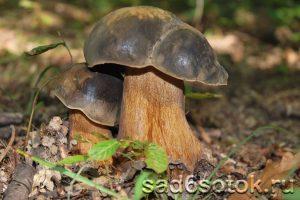 Белый гриб темно-бронзовый (Boletus aereus)