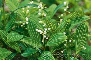 Ландыш сорт Альбостриата (Convallaria Albostriata)