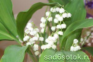 Ландыш сорт Грандифлора (Convallaria Grandiflora)