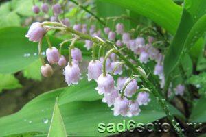 Ландыш сорт Розеа (Convallaria Rosea)