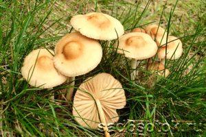 Луговые опята (Marasmius oreades)