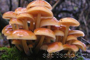 Опята зимние (Flammulina velutipes)