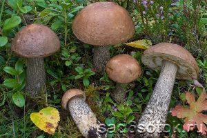 Подберезовик обыкновенный (Leccinum scabrum)