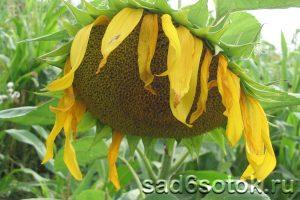 Подсолнух - выращивание и уход