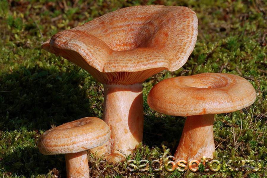 Рыжик сосновый (боровой) (Lactarius deliciosus)