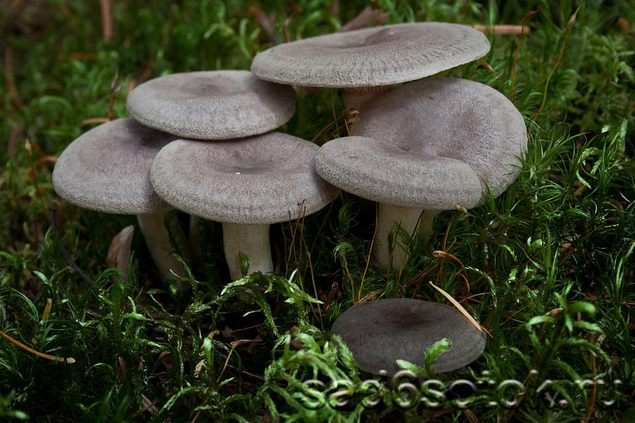 Млечник крупный или груздь сосочковый (Lactarius mammosus)