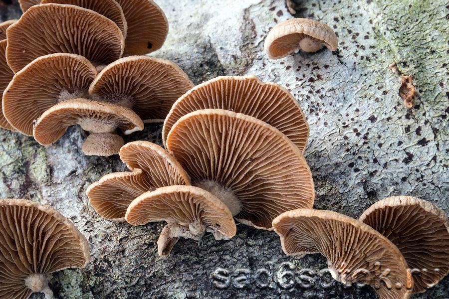 Паннелюс вяжущий (Panellus stipticus)