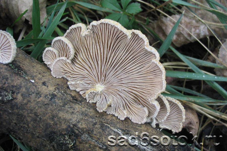 Схизофиллум обыкновенный (Schizophyllum commune)