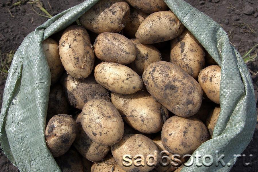 Картофель сорт Адретта