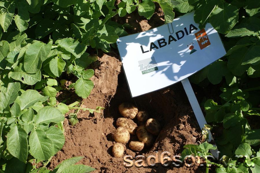 Картофель сорт Лабадиа