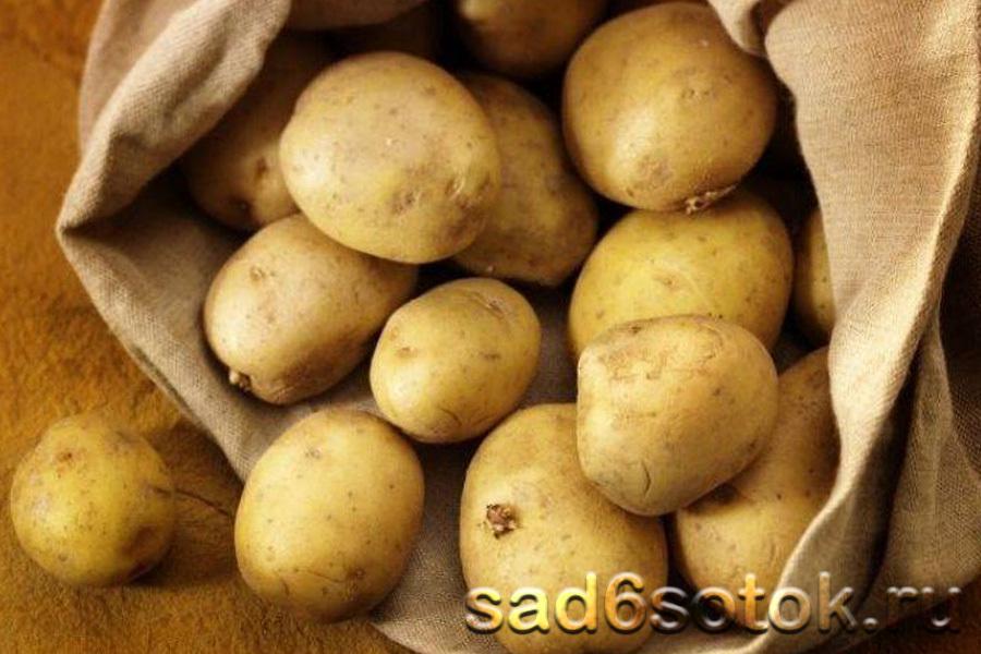 Картофель сорт Ласунок