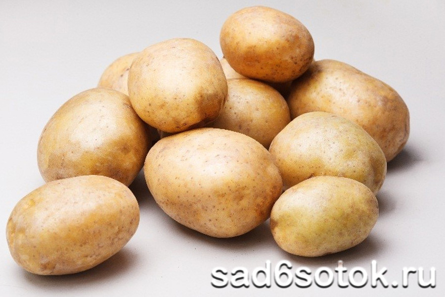 Картофель сорт Рогнеда